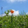 コオニユリ(ユリ科)の咲く原